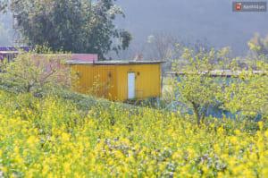 Những cánh đồng cải vàng rực rỡ