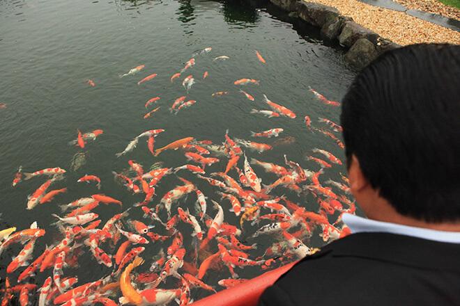 Đàn cá Koi được nhập khẩu trực tiếp tại các trang trại nuôi cá có tiếng tại Nhật Bản