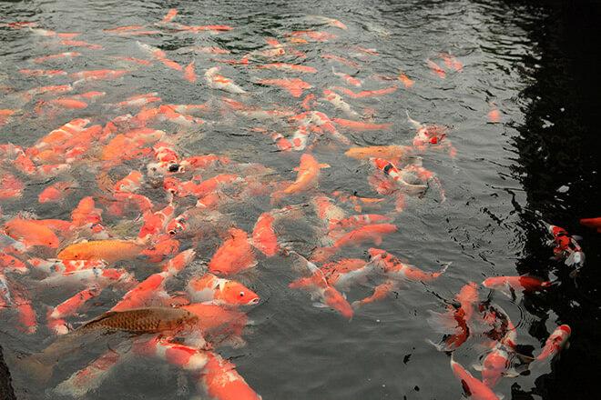 Kích thước của mỗi chú cá sẽ rơi vào khoảng 40 - 90 cm