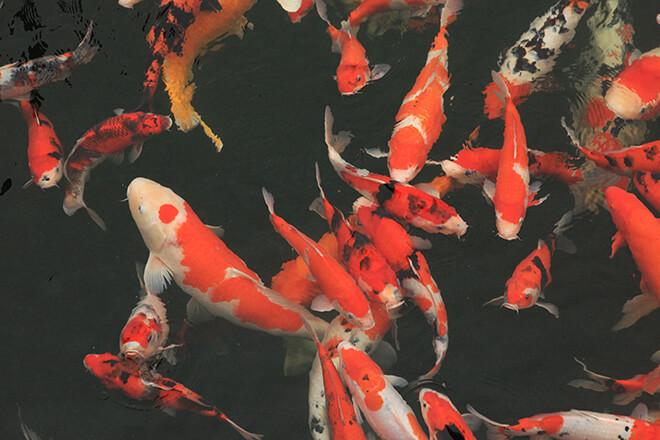 Việc sở hữu những chú cá có kích thước từ 80 - 90 cm là điều vô cùng khó bởi số lượng không nhiều
