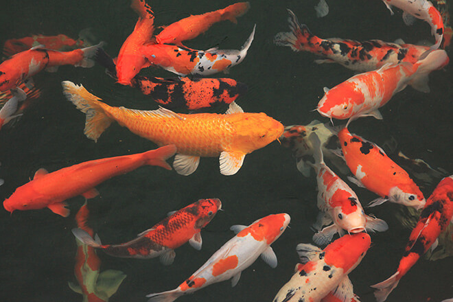 Hồ cá Koi được tập hợp những những chú cá có hình dáng đẹp, hoa văn độc đáo, màu sắc rõ nét