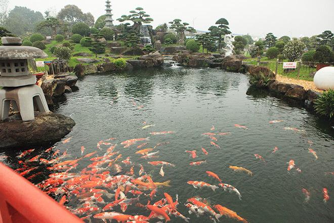 Hồ cá Koi được thiết kế theo hình bán nguyệt cảnh quan xung quanh được thiết kế hài hòa để mang đến sự gần gũi với thiên nhiên