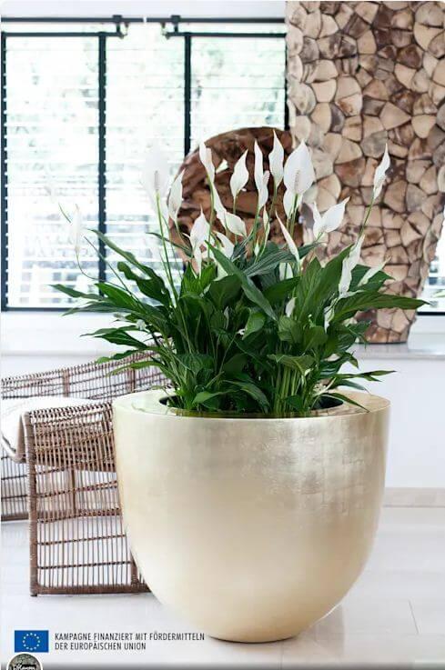 Cây lan ý - Cây trồng trong nhà