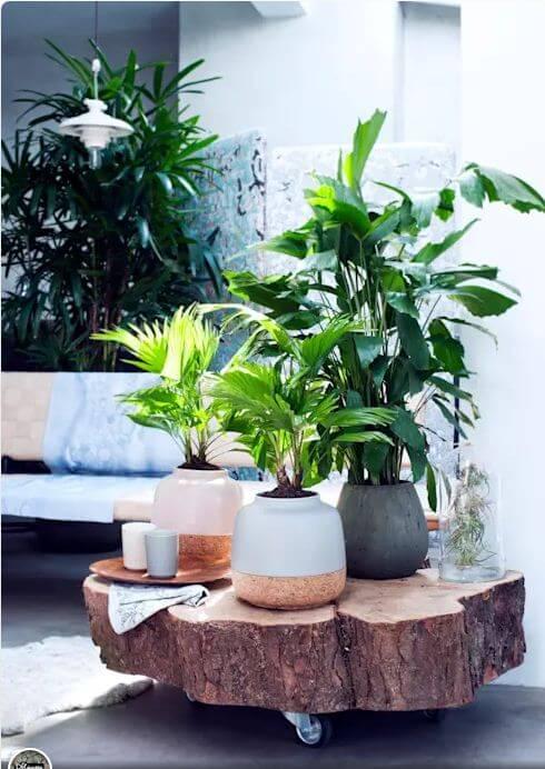 Cây cọ ta - Cây trồng trong nhà