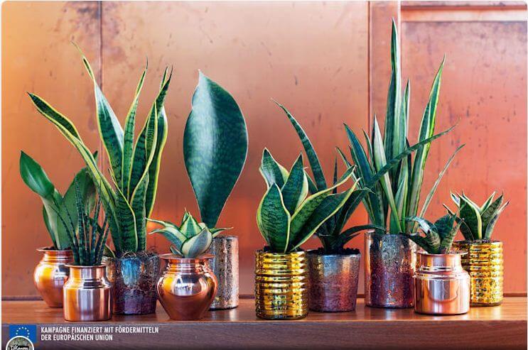 Cây lưỡi hổ - Cây trồng trong nhà