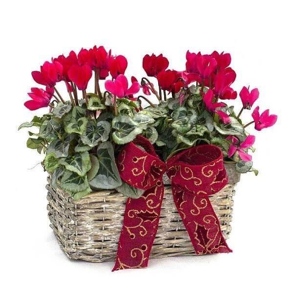 Hình ảnh: Cây hoa anh thảo