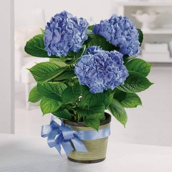 Hình ảnh: Hoa cẩm tú cầu - Cây phong thủy tuổi Thân